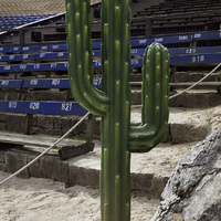Saguaro Cactus in the bleachers
